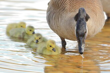 Baby Canada Geese Goslings Swimming Beside Their Mother