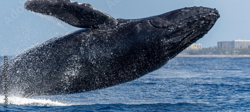 Stampa su Tela Humpback Whale Breaching in Maui, Hawaii