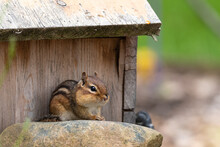Cute Chipmunk With Fat Cheeks Sitting On Rock Next To Bird House