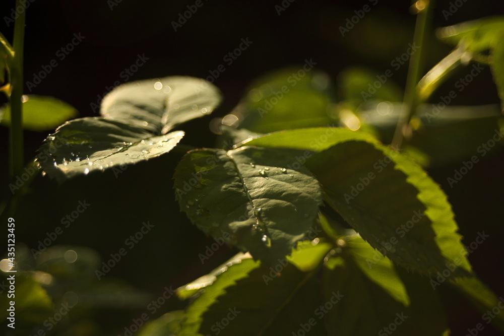 Liść róży po deszczu
