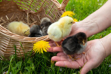 Small Chickens Stand On A Woman's Hands In Green Grass. Springtime. A Group Of Little Chickens In A Basket. Close Up. The Chickens Hatched From Eggs On The Farm.