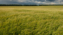 Wheat Field And Storm Clouds Before Rain, Panoramic Landscape Of Agricultural Field.