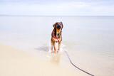 Fototapeta Fototapety z morzem do Twojej sypialni - Biegnący kundel
