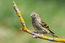 Female House Sparrow Passer Domesticus