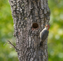 Red Bellied Woodpecker (Melanerpes Carolinus) Perched On Turkey Oak Tree (Quercus Laevis) By Its Nest Hole, Side View, Green Background, Possibly Young Female