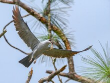 Mississippi Kite (Ictinia Mississippiensis) Flying With Brown Cuban Anole Lizard (Anolis Equestris) In Its Beak And Mouth - Under Neath Shot View From Above, Blue Sky Pine Tree Branches Background