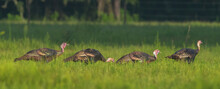 Rafter, Gobble Or Flock Of Young Osceola Wild Turkey (Meleagris Gallopavo Osceola) Walking In Line In Green Meadow In Central Florida