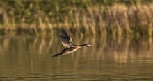 Pied-billed Grebe (Podilymbus Podiceps) In Flight Over Water, Evening Light, Wings Up, Feather Detail, Breeding Colors, Bokeh Brown Grass Background