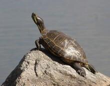 Turtle Sunbathing