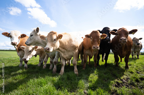 Fotografering Cows in a grass field from a low angle of view on a sunny spring day