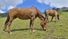 Two Brown Horse Grazing In A Pasture In Alpine Mountain