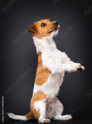 Canvastavla dog stands on its hind legs jack russell terrier breed in the studio