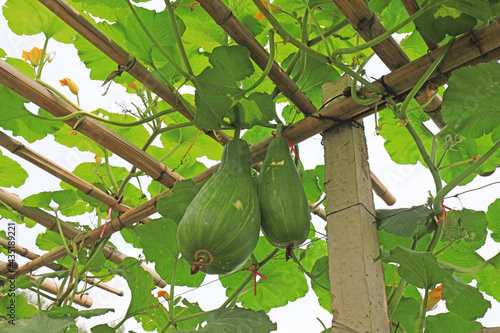 Fotografie, Obraz The melon is on the trestle on the farm