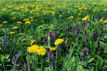 Yellow Dandelions And Purple Lamb Among Green Grass On A Summer Field. Nature Background
