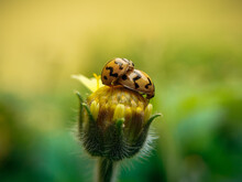 Ladybirds Mating On A Flower