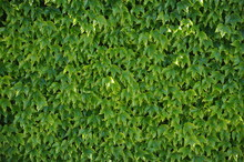 Ivy Plant Covering A Wall With Luscious Green Leaves
