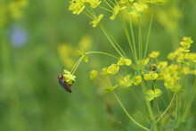 Common Soft Bodied Beetle Sitting On Flower