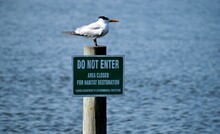 Tern Seabird In The Wild Perched On Piling Pole With Sign Background.