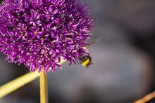 Bee Pollinating On Allium Flower.