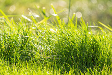 Close-up View Of Fresh Green Grass Covered With Drops Of Water. Sunny Weather. Morning Dew. Nature After The Rain. Side View. Abstract Summer Background. Selective Focus.