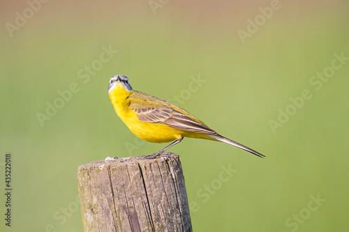 Fotografia wagtail, yellow, bird, plumage, feather, europe, migratory bird, fauna, evening,