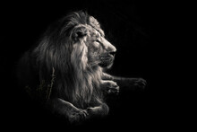 Male Lion With A Beautiful Mane Impressively Lies Against Dark, Black Background.Discolored, Black And White