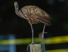 Adult Limpkin (Aramus Guarauna), Also Called Carrao, Courlan, And Crying Bird Balancing On Wooden Pylon - One Leg Up - Looking At Camera With Dark Background -