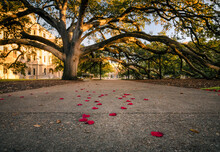 The Century Tree At Texas A&M University In College Station, Texas Is A Staple Of Tradition On Campus. Shown Here Is The Tree Arching Over A Walkway Covered In Red Autumn Leaves Resembling Rose Petals