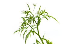 Apiaceae, Maybe Anthriscus Cerefolium (chervil), A White Flower Growing In Spring And Summer In Europe, Plucked In May.