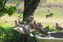 A Closeup Photograph Of A Flock Of Doves And Finches Eating Wild Bird Seed From A Spiked Metal Bird Feeder In A Garden With Trees And Green Grass And Plants In The Background, In South Africa