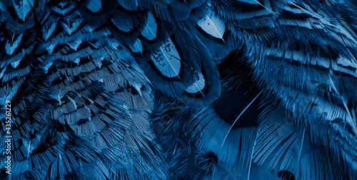 blue pheasant feathers with dark stripes. background Fototapet