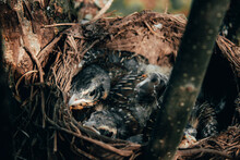 Three Cute Blackbird Chicks In A Hay Nest In A Tree