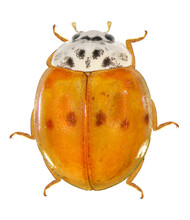 Ladybug (ladybird), Harmonia Axyridis (Coleoptera: Coccinellidae). Adult. Dorsal View. Color Variation. Isolated On A White Background