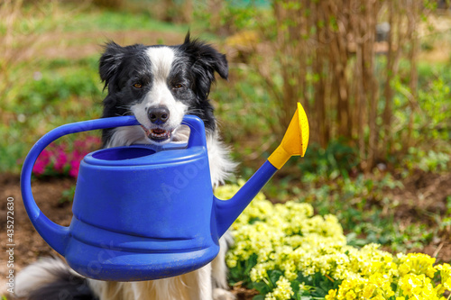 Outdoor portrait of cute dog border collie holding watering can in mouth on garden background Fototapet