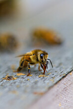 Honey Bee On A Hive