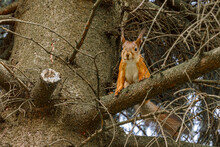Outdoor Portrait Of Cute Curious Red Squirrel Sitting On Tree Branch In Forest Background. Little Fluffy Wild Animal Fox Squirrel With Funny Face In Habitat Close Up. Urban Wildlife In Park.