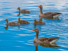 Greylag Goose Or Graylag Goose (Anser Anser) On A Pond