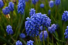 Close-up Of A Blue Grape Hyacinth Flower Bloom