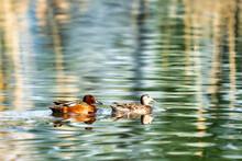Male And Female Cinnamon Teal Ducks On A Pond
