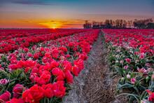 Tulip Field In The Netherlands, Colorful Tulip Fields In Flevoland Noordoostpolder Holland, Dutch Spring Views In The Netherlands