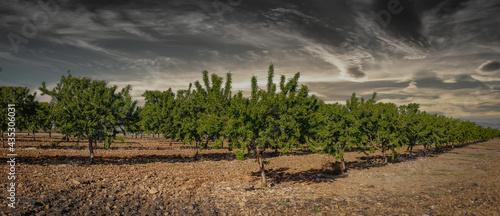 Fotografiet field of almond trees with green fruit.
