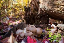 Common Puffball Mushroom (Lycoperdon Perlatum)
