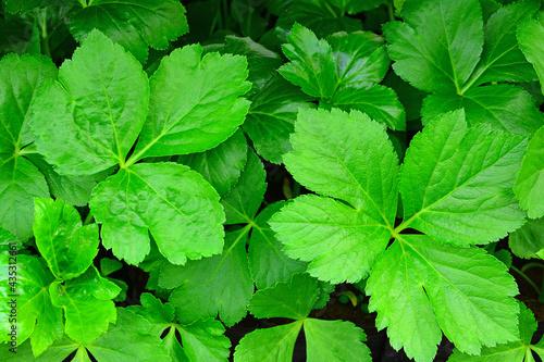 Obraz na płótnie 싱싱한 참나물 잎새