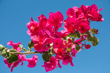 Beautiful Petal Of Santa Rita With Magenta Flowers With The Intense Blue Sky In The Background. Beautiful Contrast.