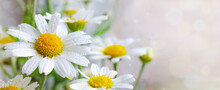 Beautiful Chamomile Flowers Banner. Spring Or Summer Nature Scene With Blooming Daisy In Sun Flares. Soft Focus. With Copy Space. Close Up. Tiny Chamomile Flowers