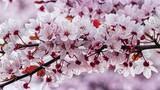 Fototapeta Kwiaty - Wiosenne różowe kwiaty kwitnące na drzewie z bliska