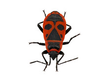 Firebug, Pyrrhocoris Apterus, Isolated On White Background, Top View