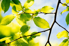 Green Leaves Of A Beech Tree On A Branch Blue Sky In The Background