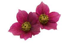 Red Hellebore Flower Isolated