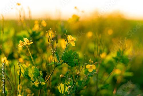 kwiaty rzepaku dzikiego w zbliżeniu
